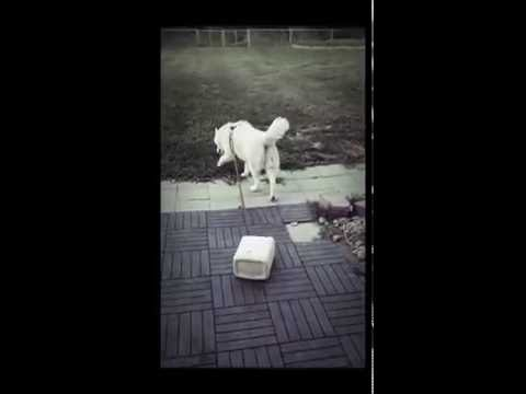 Husky refuses to stop jumping the fence. Jug of shame