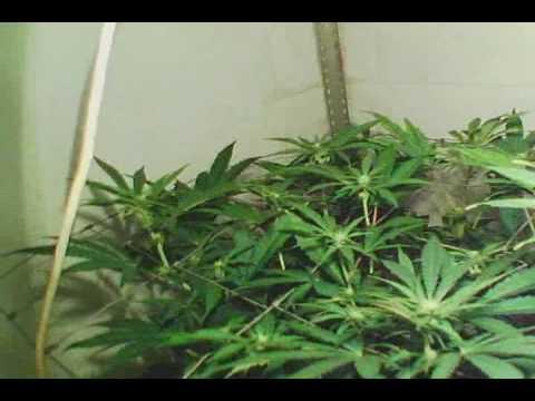 Indoor Hydroponic Marijuana Grow Flowering week2