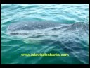 Isla Mujeres Mexico Whale Shark Snorkeling Tours