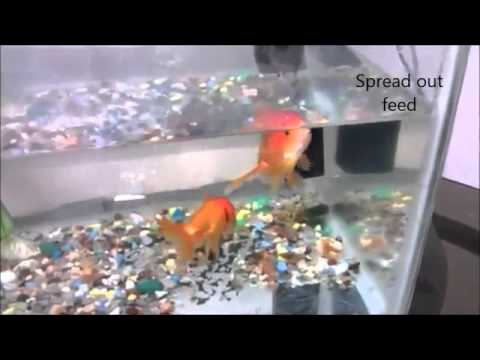 Video - How much, what and when to feed the aquarium fish?