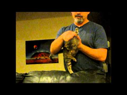 Mercury the two legged kitten demanding daddy cuddles
