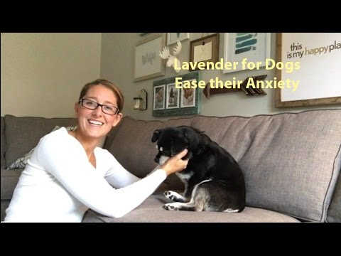 Lavender Oil Eases Dog's Anxiety during Thunderstorms