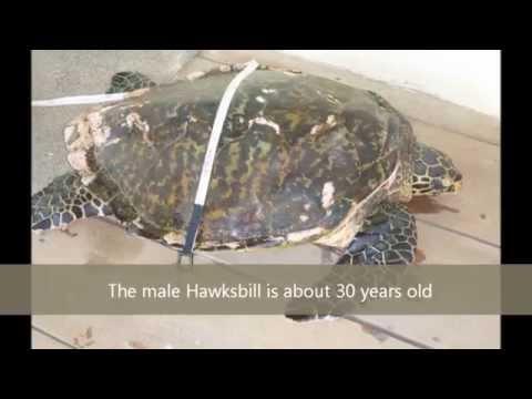 Catching a Sea Turtle in Fiji