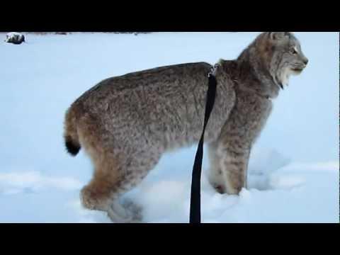Max Canada Lynx NY Eve Walk.MOV