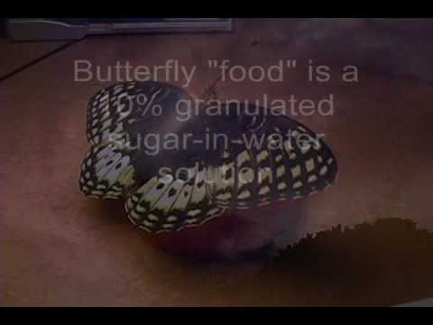 Butterfly feeding (how to) - Apache Fritillary