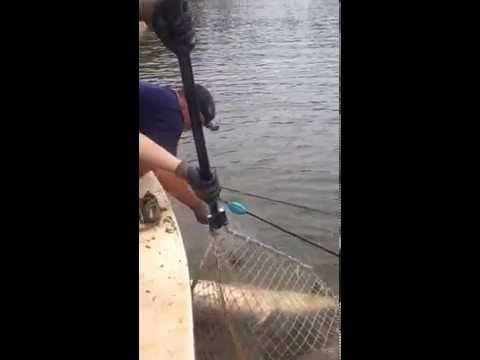 Atlantic Sturgeon returning to the Chesapeake