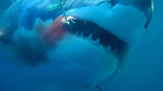 Great White Shark Cage Dive - Meet Jaws!