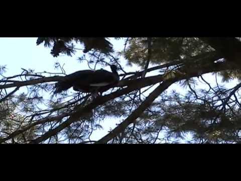 Crowing Peacock in Tree