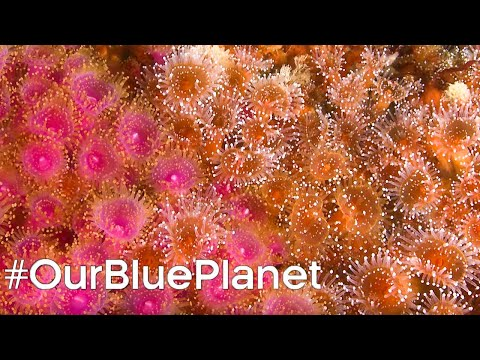 Protecting Scotland's Coral Reefs #OurBluePlanet | BBC Earth