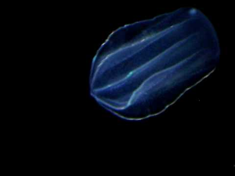 Bioluminescent Jellyfish at the Florida Aquarium