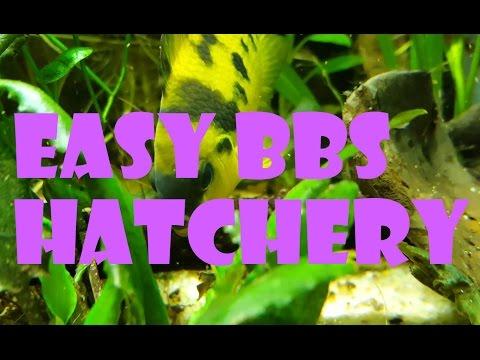 Easy Baby Brine Shrimp Hatchery