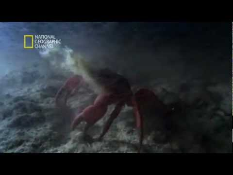 Christmas Island National Park -- Red crabs, females spawning