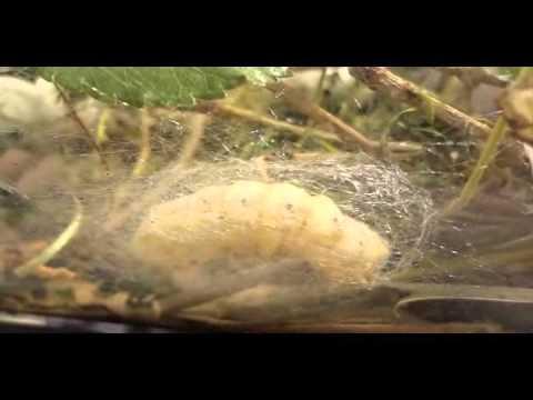 Silkworm Life Cycle (Silent Video)