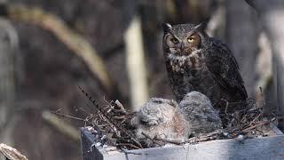 Great Horned Owl Nest Cam 2