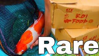 Unboxing $5000 Rare Koi Fish For My AQUARIUM