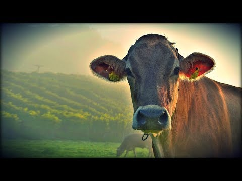 Why Dairy Is Never Humane