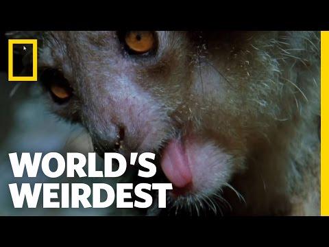 The Demon Primate | World's Weirdest