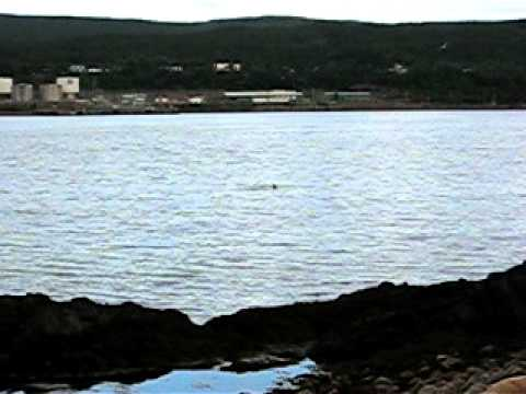 Whale in Holyrood Bay - August 13 2010