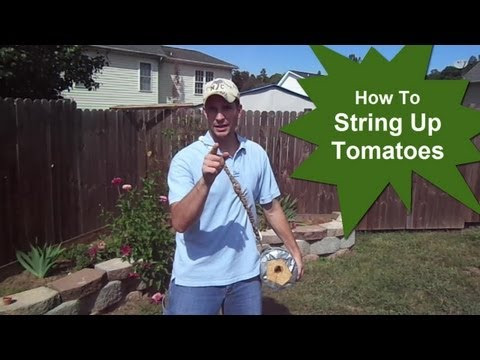 How To String Up Tomatoes