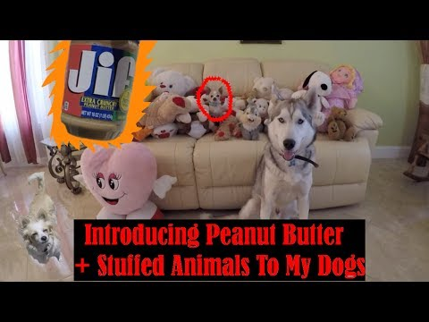 Husky Attacks Stuffed Animals, Dogs First Time Eating Peanut Butter!