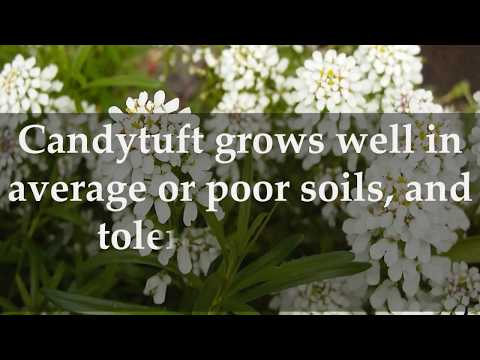 How to Grow Candytuft at Home