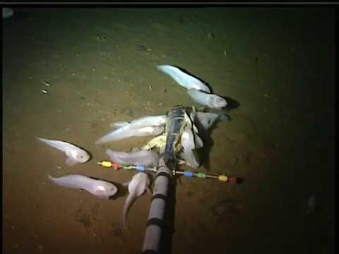 Mariana snailfish feeding on the ocean floor