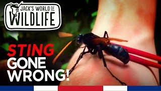Download Tarantula Hawk Wasp Sting GONE WRONG!! | Costa Series | Video