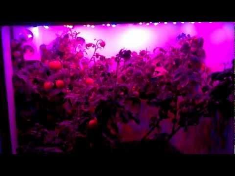 LED grown dwarf tomatoes