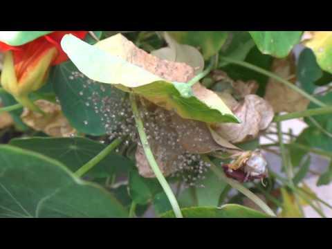 AwA St Andrews Cross Spiderlings