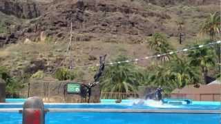 Dolphins flipping trainer out of water and over rope!