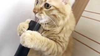 Кот лижет пылесос/ Cat licks the vaccum cleaner