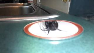 Download Black widow playing dead Video