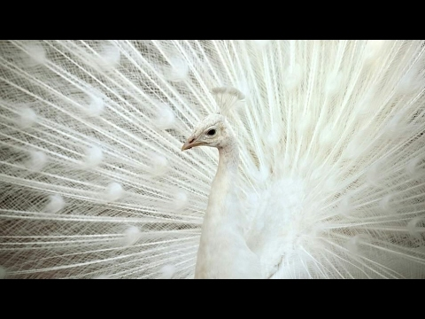 White Peacock Opening Feathers For Dancing . MUST WATCH