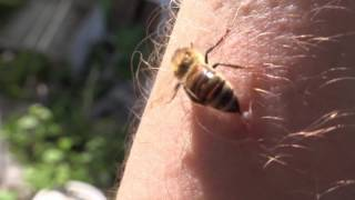 Download Do Honeybees Really Die When They Sting HD Video