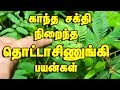 Touch Me Not Plant In Tamil Thotta Sinungi Mimosa Pudica த ட ட ச ண ங க mp3