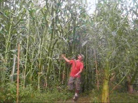 Growing giant corn 1 of 2