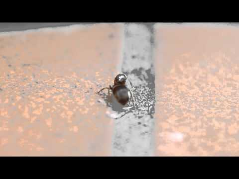 Queen Ant detaching her wings after nuptial flight