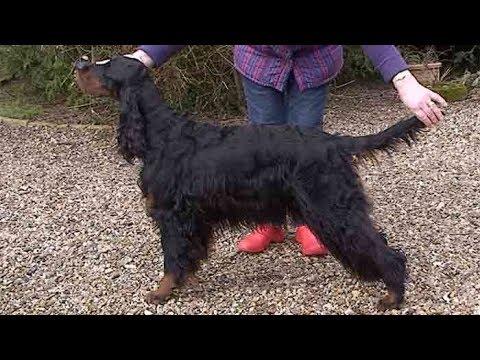 Dog Breed Video: Gordon Setters