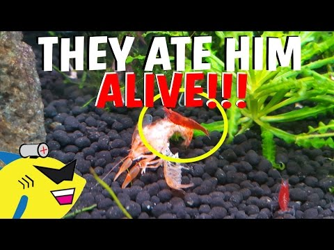 THEY ATE HIM ALIVE! - CRAYFISH UPDATE