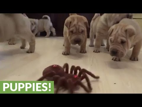 Xxx Mp4 Shar Pei Puppies Take On Robot Spider 3gp Sex