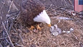 Bald Eagle hatching: 250 years since last nesting, Bald Eagles appear in Pittsburgh, Pennsylvania