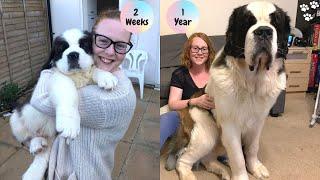 Saint Bernard Puppy growing up Timelapse - St Bernard dog | Saint Bernard Puppy to Adult