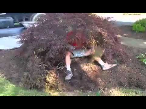 How to prune Jap  maple, take 1