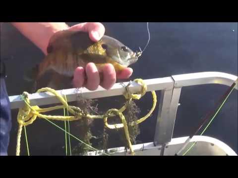 Shellcrackers to Bluegills - Fly Fishing Bluegills In Shallow Water