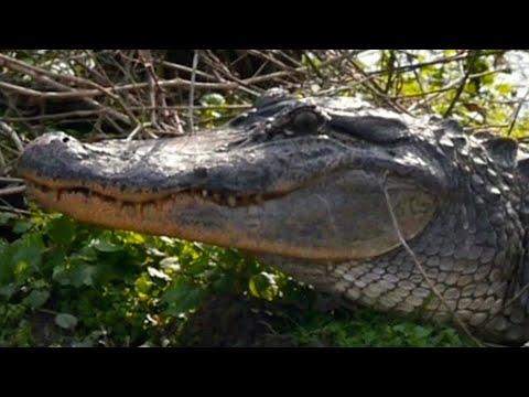 Alligators in your Backyard in Florida