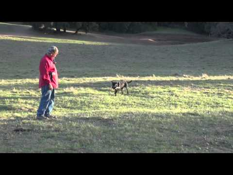 Training for AKC Hunt Test - Triple mark with double blind