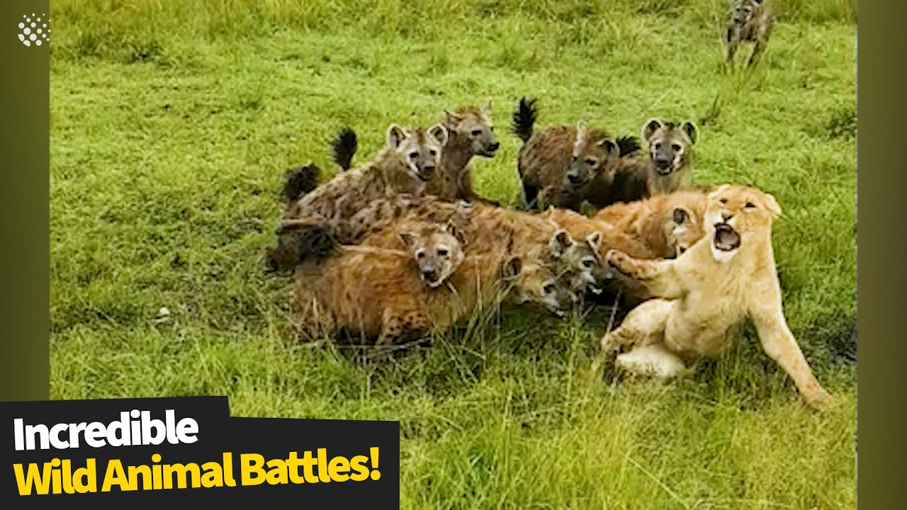 The most incredible wild animal battles captured on camera