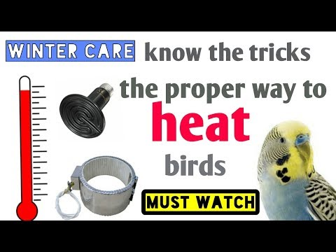 Winter care - why budgies die suddenly in winter-the proper care of birds in winter