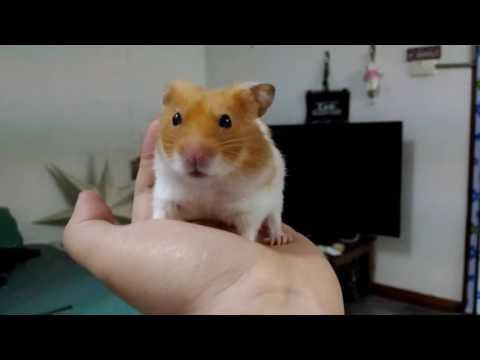 Stay still hamster