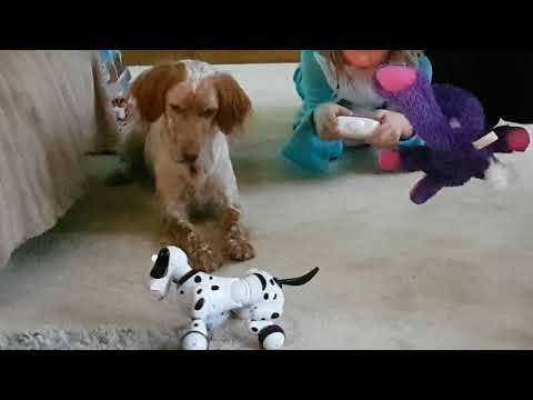 English Setter and Lab react to Smart Dog toy!